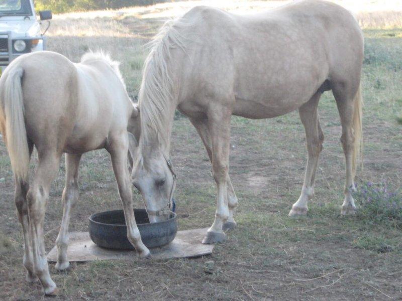 American-Saddlebred-Stute-Fohlen