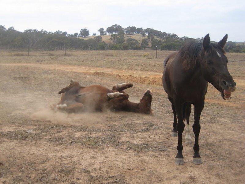 American-Saddlebred-albern
