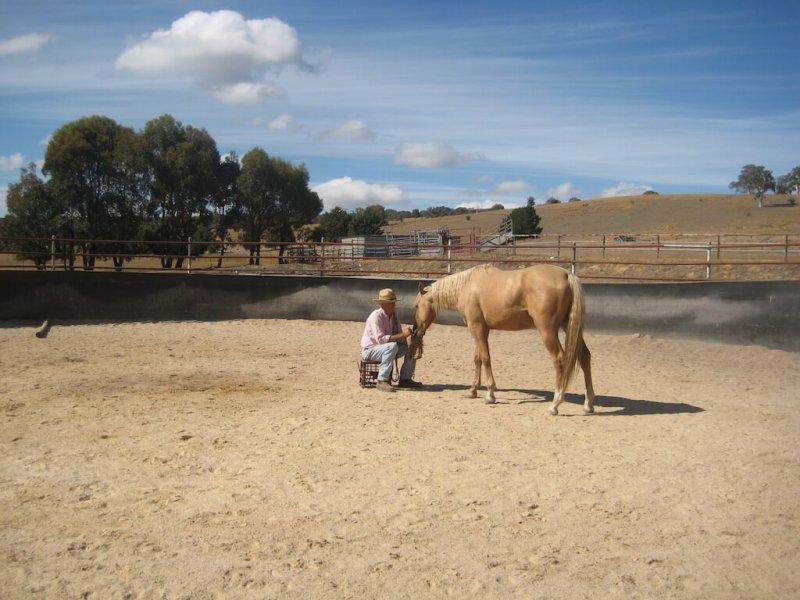 American-Saddlebred-erziehung