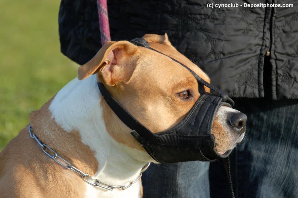 Seitliches Portrait eines American Staffordshire Terrier mit Maulkorb