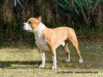 American Staffordshire Terrier Steckbrief