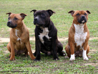 Drei braune American Staffordshire Terrier