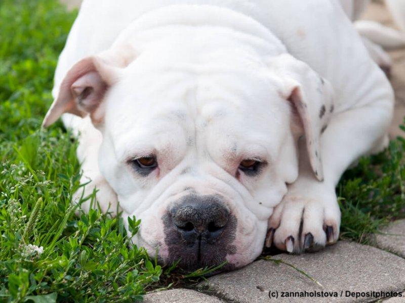 American Bulldog Steckbrief Fci Klasse Wesen Und Mehr