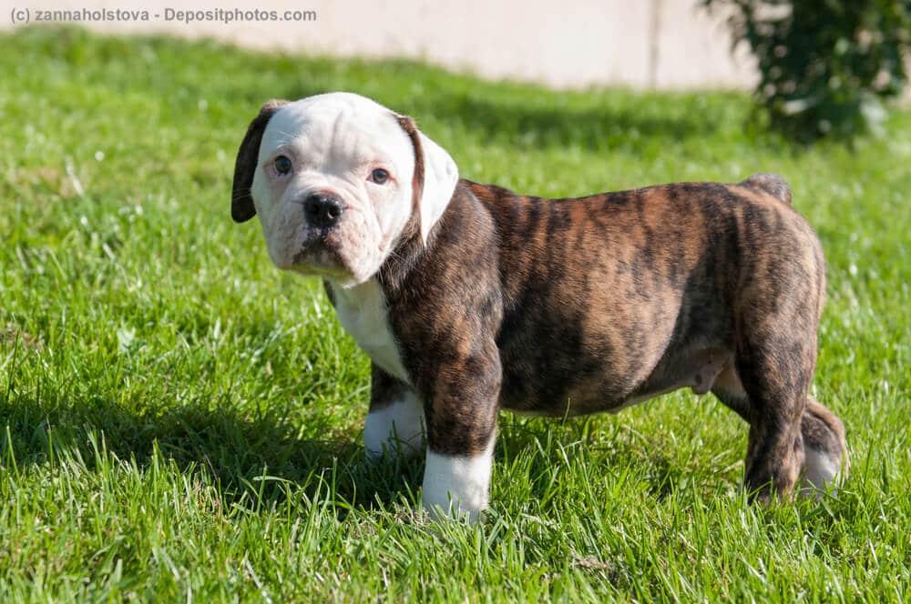 American Bulldog Welpe steht auf Wiese