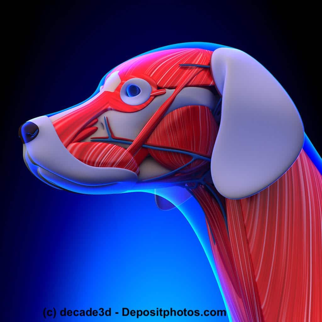 Schematische Darstellung der Kopf- und Halsmuskulatur eines Hundes.