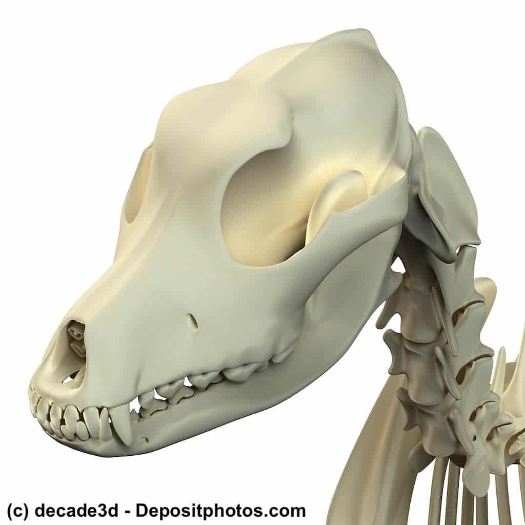 Anatomie vom Hund: Schädel und Halswirbel
