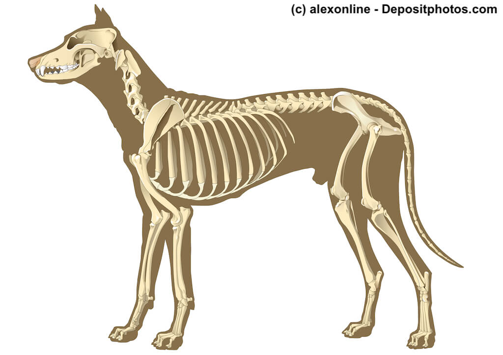 Schematische Darstellung eines Hundeskelett