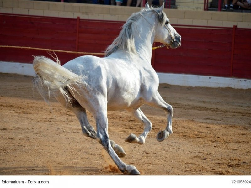 Andalusier im Galopp