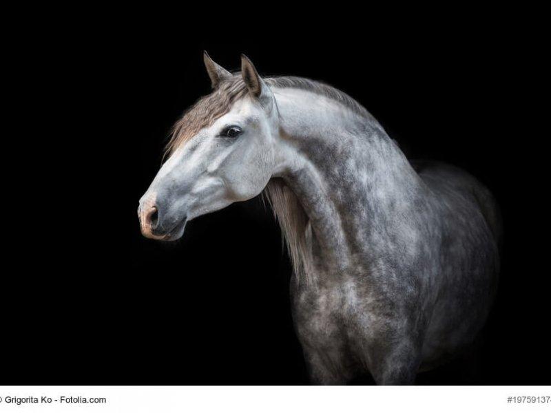 Weiß/ grauer Andalusier vor dunklem Hintergrund