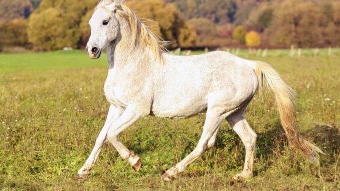 Pferderassen Serie Teil 2 - Vollblüter