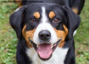 Portrait eines Appenzeller Sennenhund