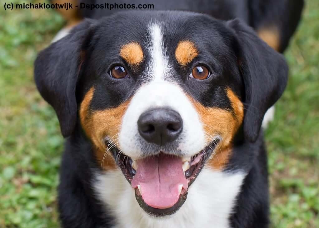 Appenzeller Sennenhund Mit Fci Klassifikation Wesen