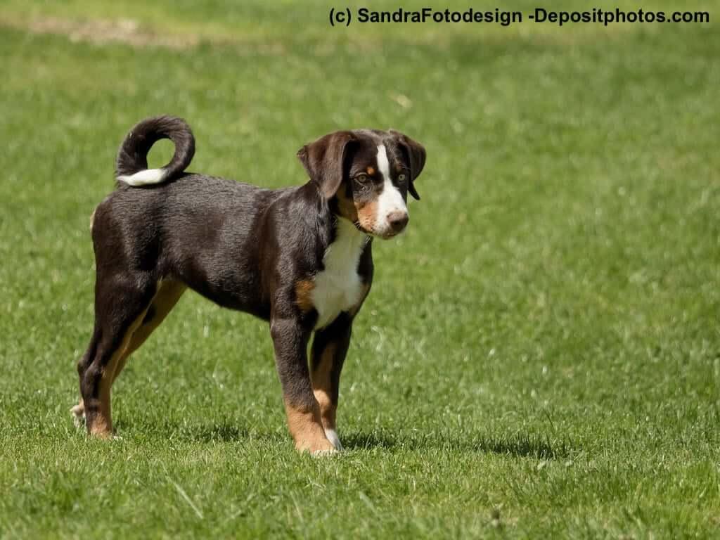 Appenzeller Sennenhund Steckbrief