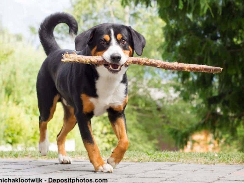 Appenzeller Sennenhund spielt mit einem Stock