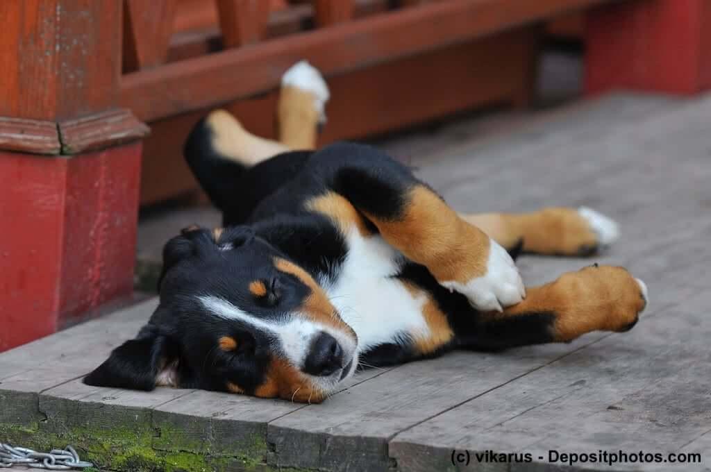 Entspannter Appenzeller Sennenhund-Welpe