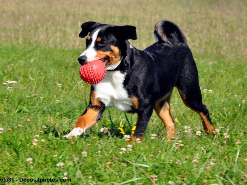 Fröhlicher Appenzeller Sennenhund auf einer Wiese