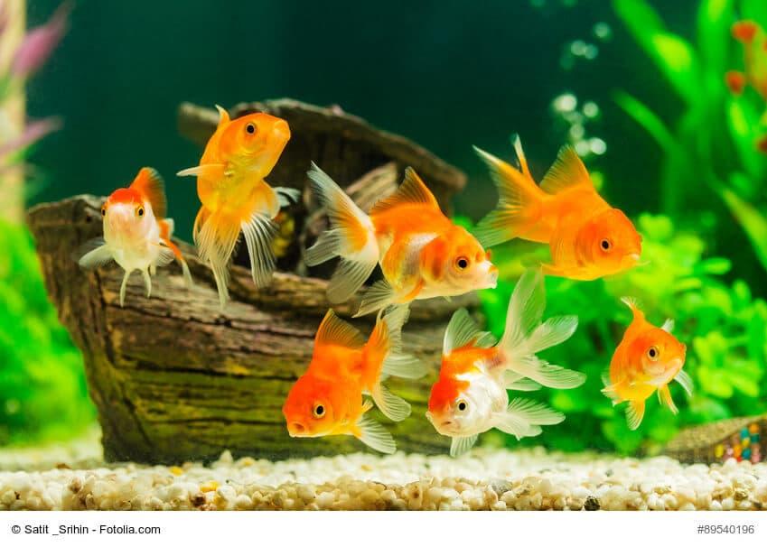 Ein Schwarm kleiner Goldfische vor einem kleinen Demo Wrack im Aquarium