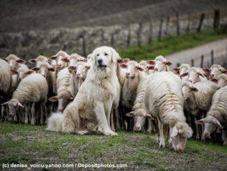 Ein weißer Herdenschutzhund sitzt vor einer Schafherde