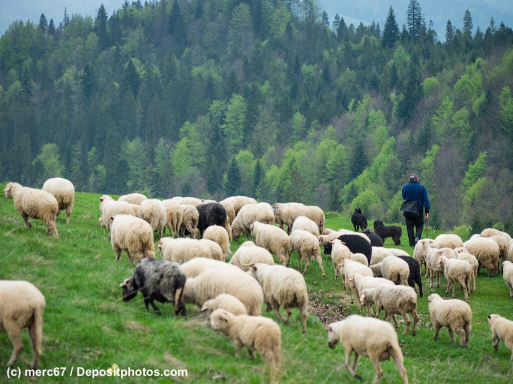Schafherde mit Schäfer und zwei dunkeln großen Hunden in den Bergen vor einem bewaldeten Bergrücken