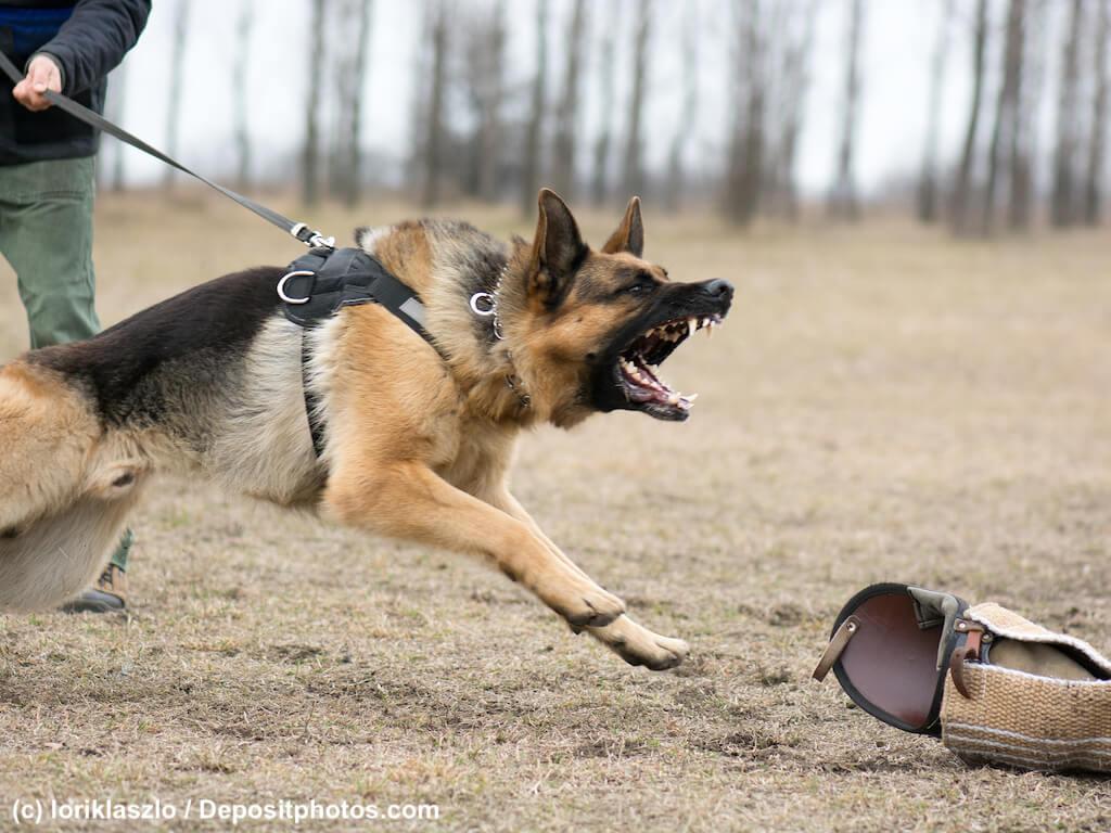 Deutscher Schäferhund an gespannter Leine bellt nicht sichtbare Person an