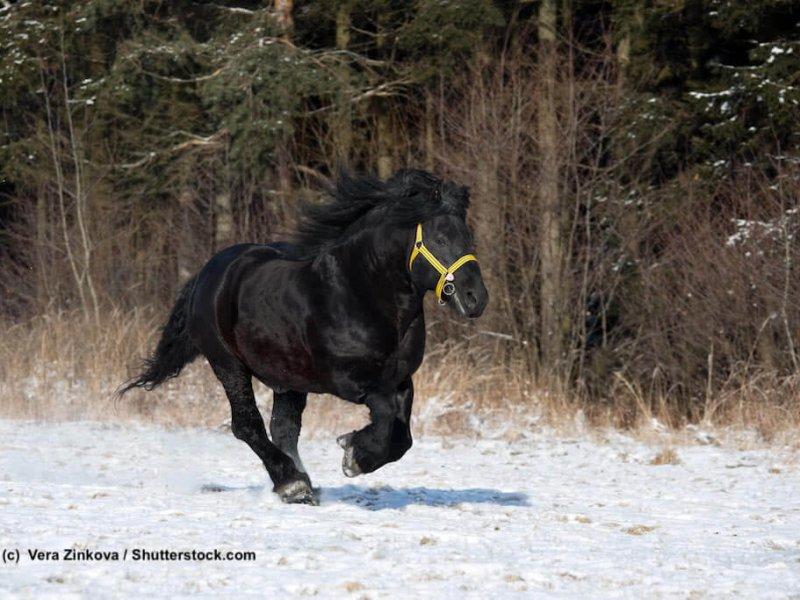 Schwarzer Ardenner im Winter
