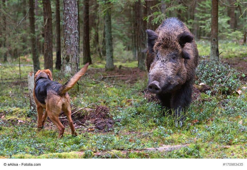 Ein Hund nähert sich einem Wildschwein im Wald