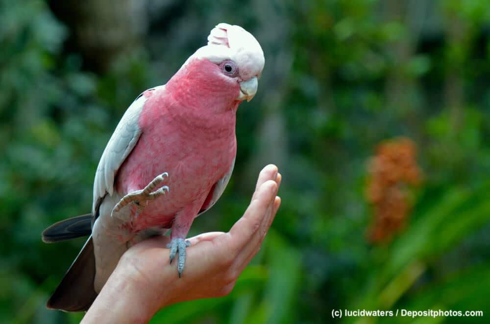 Australischer Rosakakadu sitzt auf einer Hand