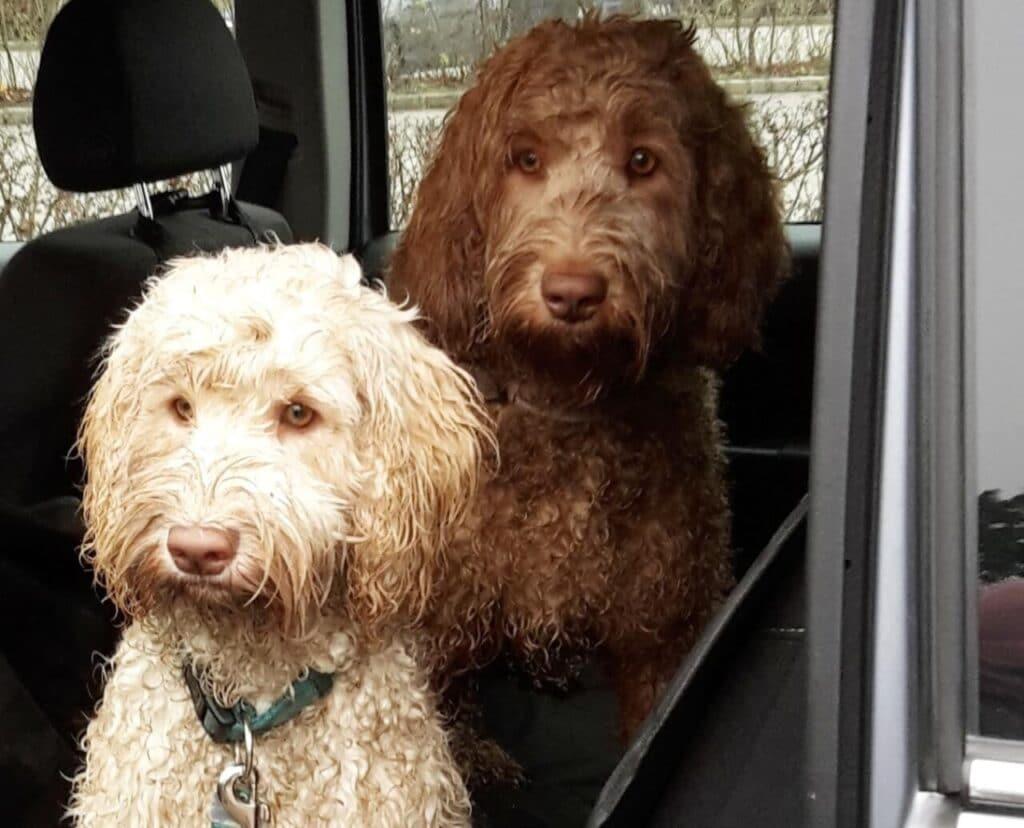 Zwei nasse, dreckige Hunde sitzen auf der Rückbank eines Autos auf einer Autoschondecke