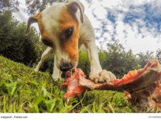 Kleiner Jack Russen Terrier leckt an einem frischen, blutigen Knochen