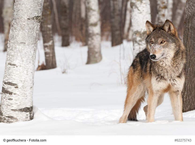 Grau-Brauner Wolf steht zwischen Bäumen im Schnee