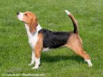 Beagle Steckbrief