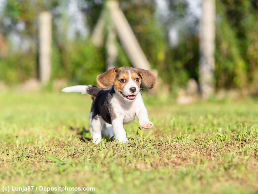 Beagle Welpe auf Abenteuer suche