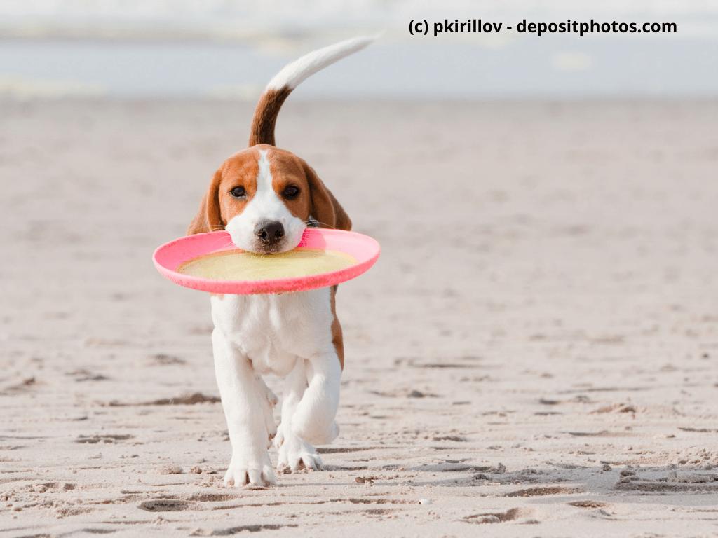 Beagle spielt mit Frisbee am Strand