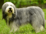 Bearded Collie Steckbrief