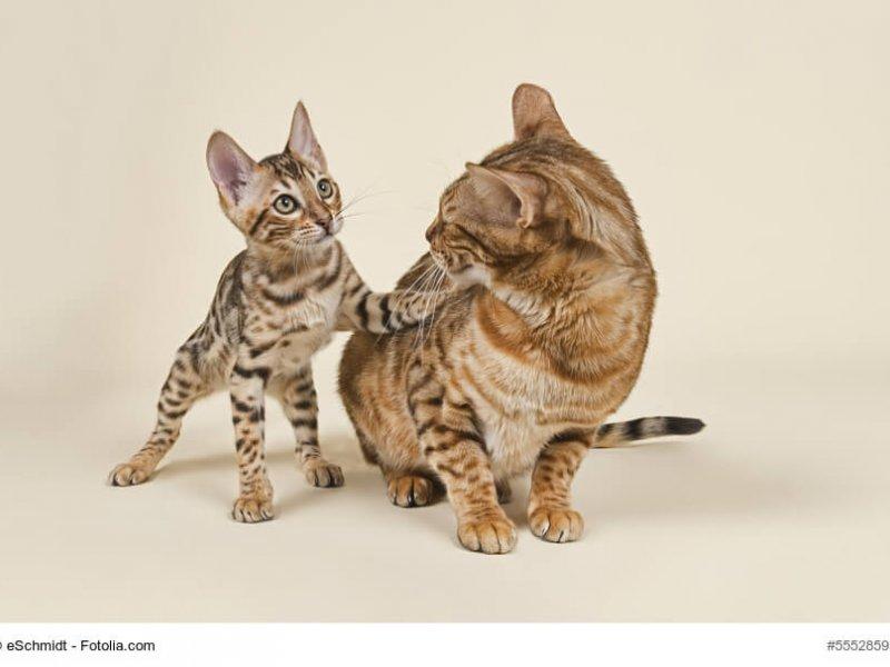 Bengal Katzen Paar Kitte und Katze