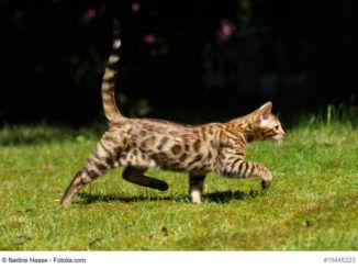 Bengal Katze, ganzer Körper, seitlich auf einer Wiese, Fellfarbe Rosettenmuster