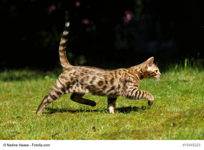 Bengal Katze, ganzer Körper, seitlich auf einer Wiese