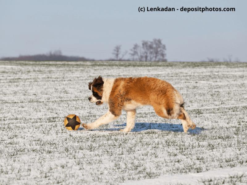 Bernhardiner spielt auf schneebedeckter Wiese mit einem Ball