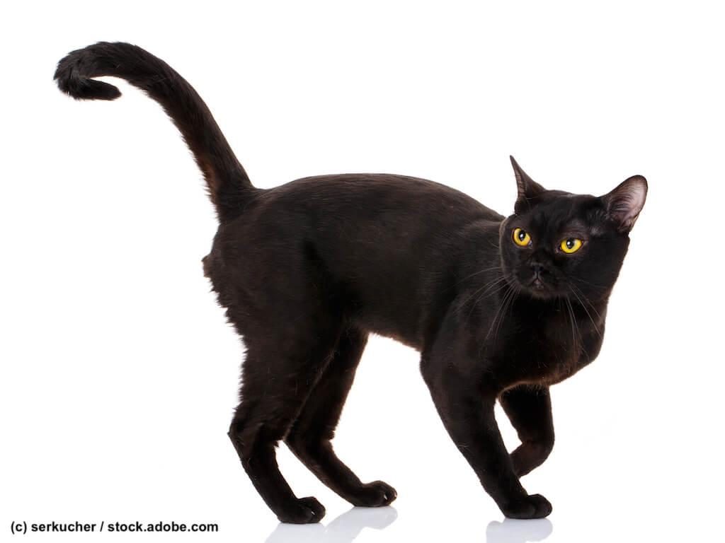 Bombay Katze Steckbrief