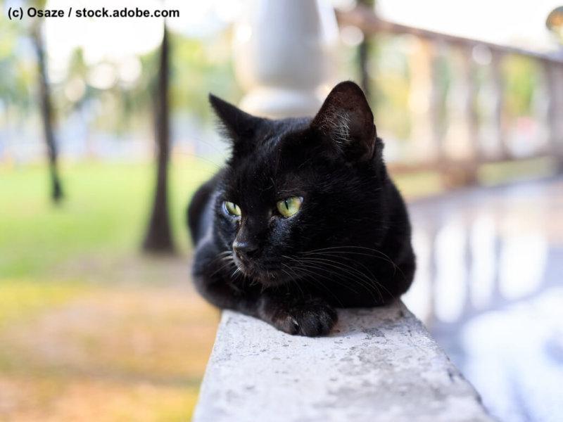 Bombay Katze auf Balkon