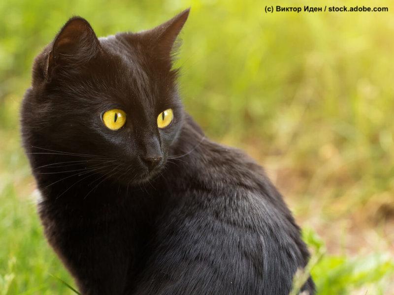 Bombay Katze sitzend