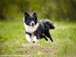 Border Collie Steckbrief