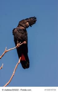 Braunkopfrabenkakadu, sitzend auf einem hohen Ast, zu erkennen das rote Band an der Körper Unterseite