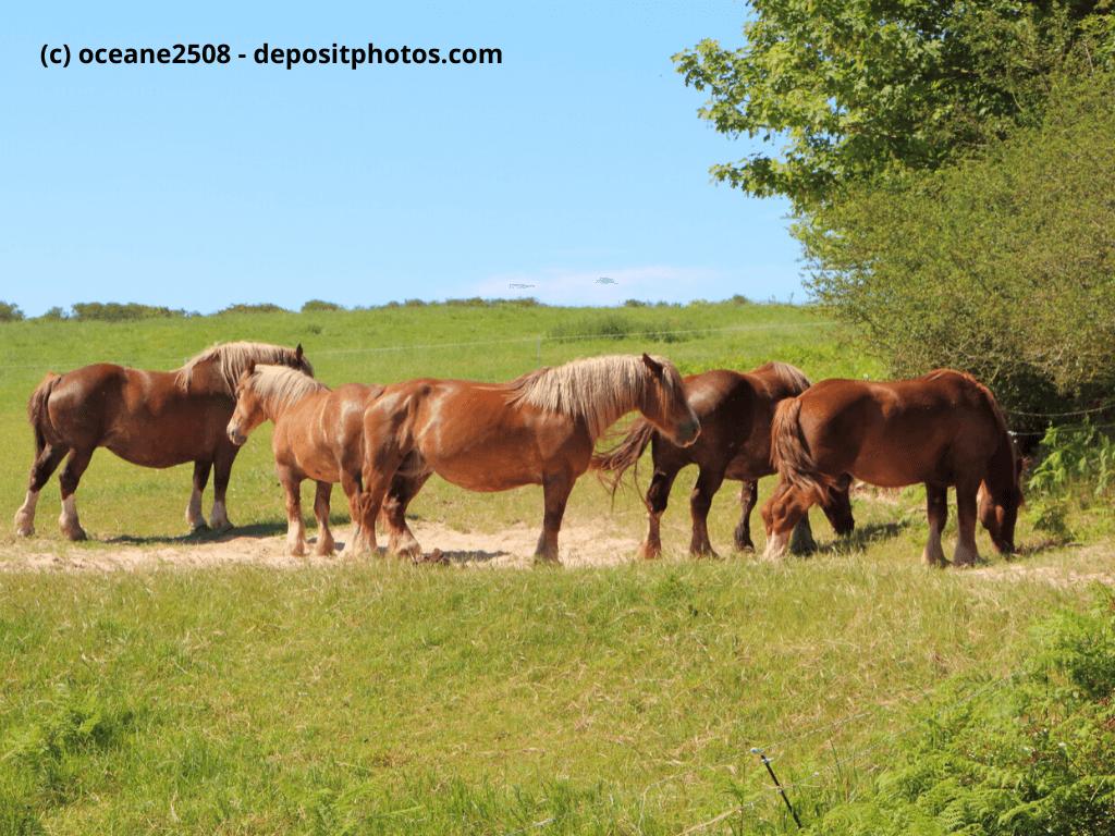 Bretone Herde von Kastanien auf einem Feld in der Bretagne