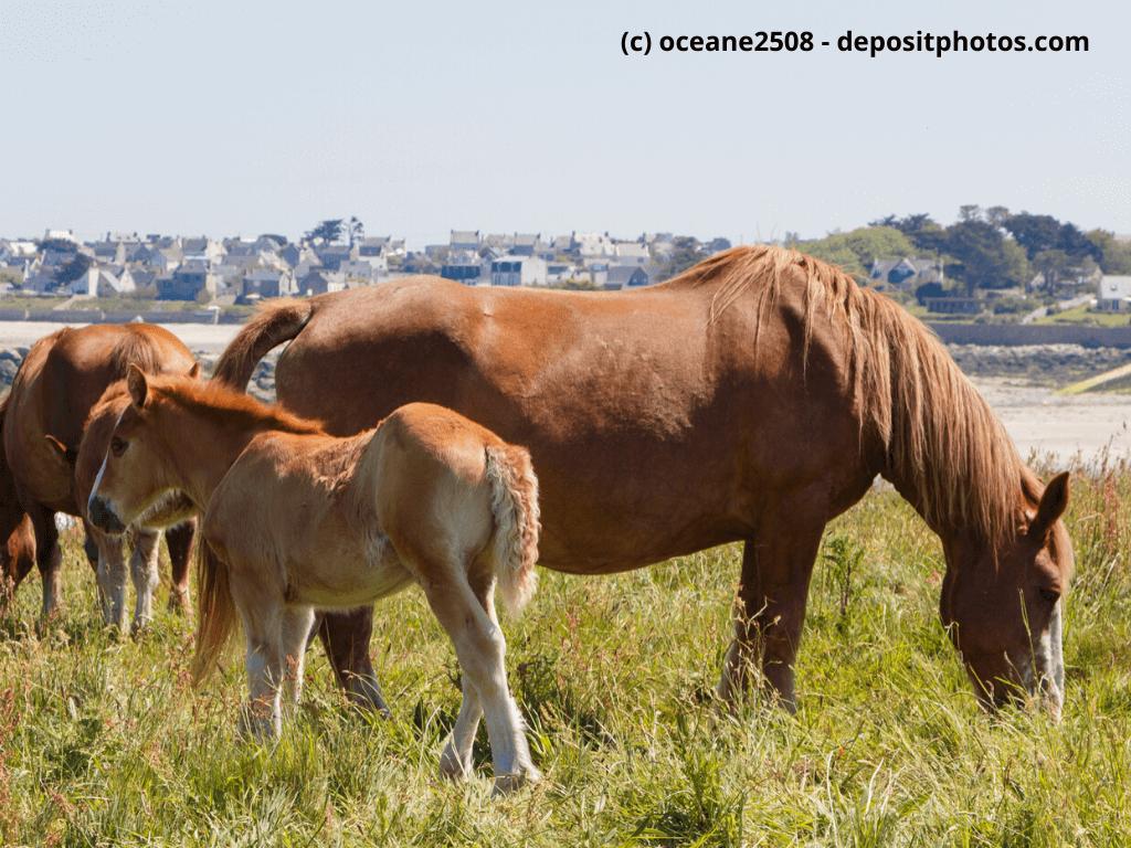 Bretone Stute und ihr Fohlen auf einem Feld in der Nähe der Küste in der Bretagne