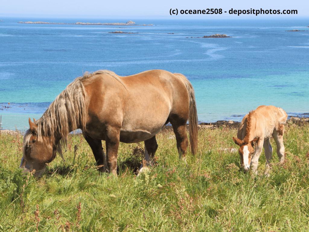 Bretone Stute und ihr Fohlen auf einem Feld in der Nähe des Meeres in der Bretagne