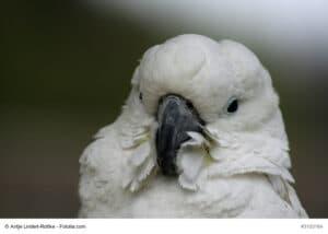 Porträt eines Brillenkakadu, weißer Vogel mit weißer Haube und den typischen blauen Augenringen