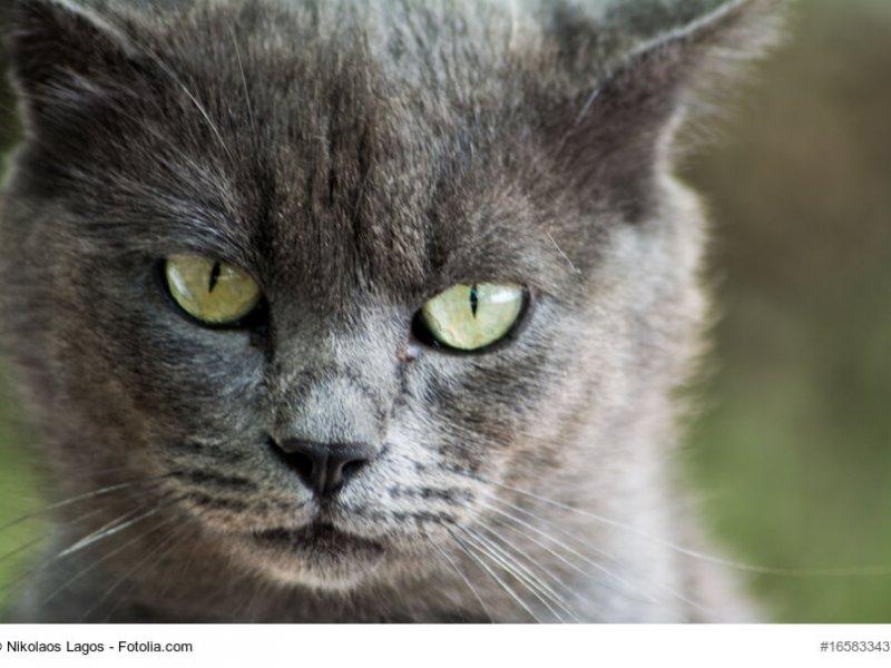 Britisch Blau Katzenkopf mit strahlenden Augen
