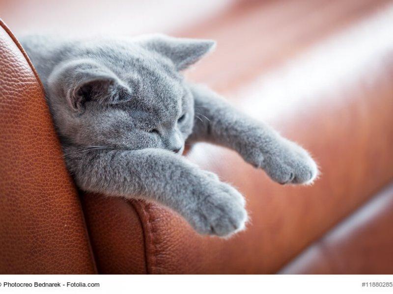 Müdes Britisch Blau Katzenkind
