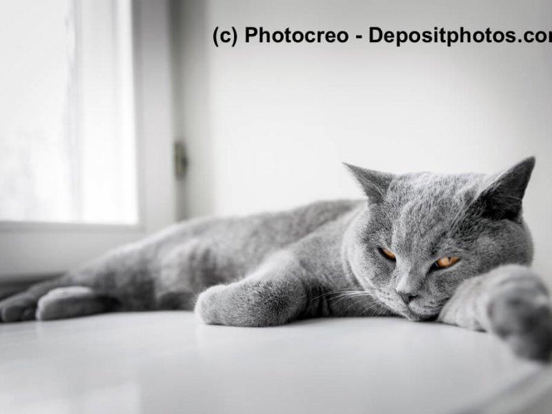 Britisch Blau gelten als ruhige Katzen